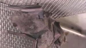 Un video mostra pipistrelli nel laboratorio di Wuhan: smentita la versione cinese